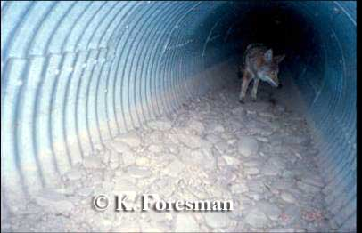 Coyote using culvert underpass, Montana. Photo credit: K. Foresman.