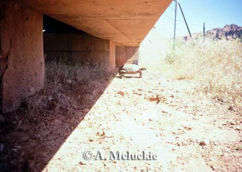 Desert tortoise using bridge underpass, Utah. Photo credit: A. McLuckie.