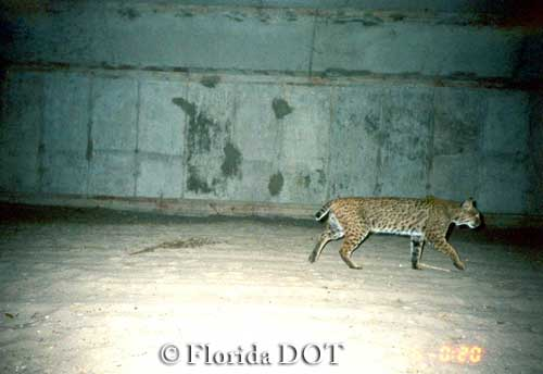 Bobcat using medium size box culvert underpass, Florida.