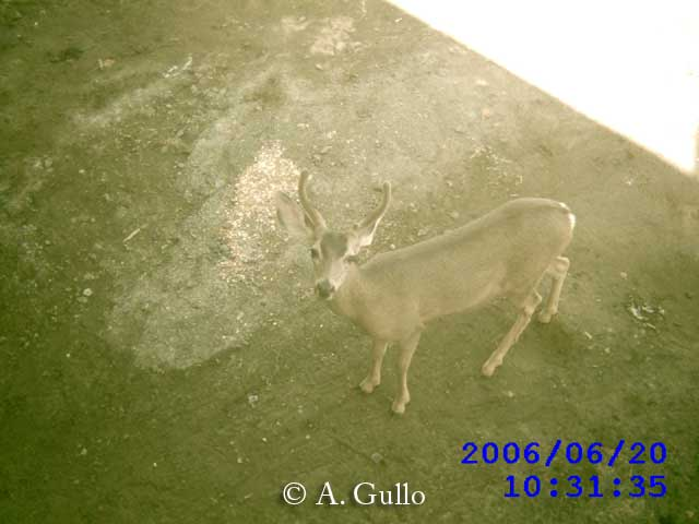 Mule deer using the Puente Hills Passage culvert in Los Angeles area, California.
