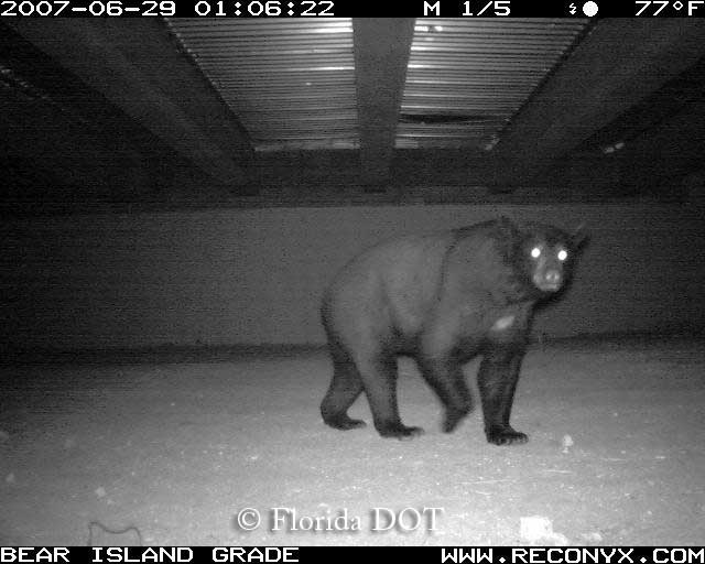 Florida black bear using box culvert passage, South Florida.