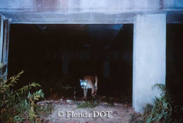 Florida panther using wildlife passage near Big Cypress, Florida.