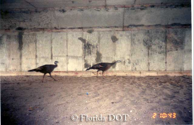 Wild Turkeys using box culvert in Florida passage