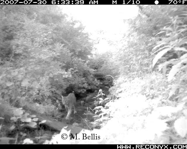 Bobcat using area under Vermont's Bennington Bypass wildlife crossing bridge.