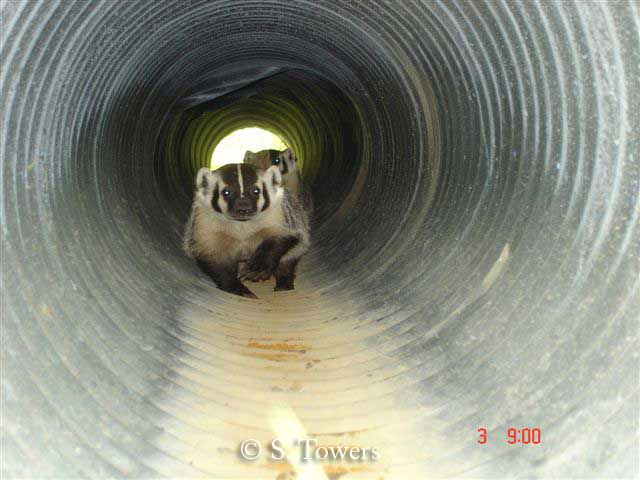 Two badgers using badger culvert British Columbia.