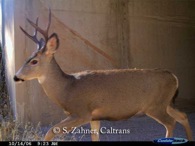 Mule Deer using wildlife passage box culvert in Northern California.